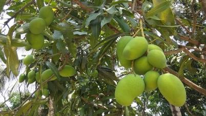 চাঁপাইনবাবগঞ্জ-রাজশাহীর মজার আম : অপেক্ষা ২০ মে পর্যন্ত
