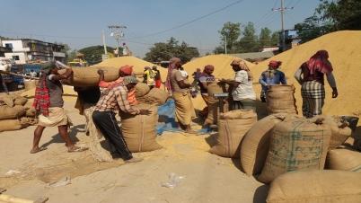 বগুড়ায় সরকারি ধান-চাল কেনা শুরু না হওয়ায় বিপাকে কৃষক