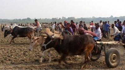 ঝিনাইদহে গরু গাড়ির দৌড় প্রতিযোগিতা
