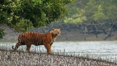 সুন্দরবনে বাড়ছে 'রয়্যাল বেঙ্গল টাইগার'