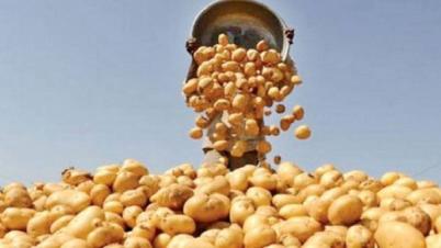 আলুর দাম পুনর্নির্ধারণ: খুচরা বাজারে প্রতিকেজি ৩৫ টাকা